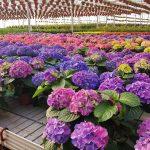 Gėlė Hortenzija