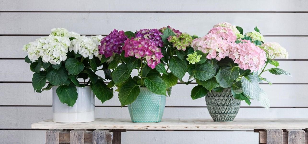 Gėlė hydrangea