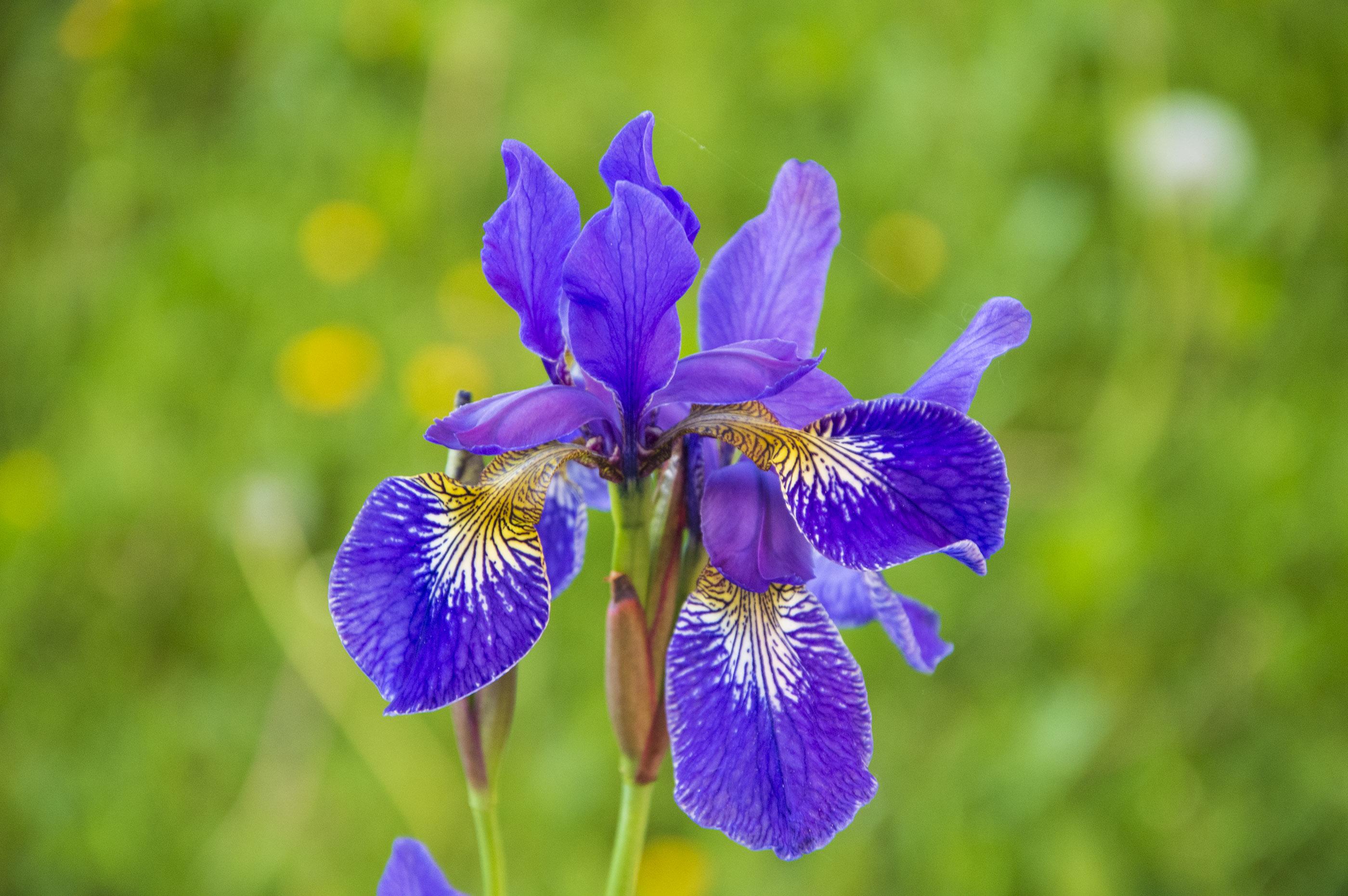 Gėlė irisas