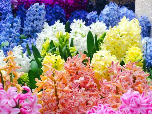 Gėlės nuotrauka. (Pavadinimas: Hiacintas)