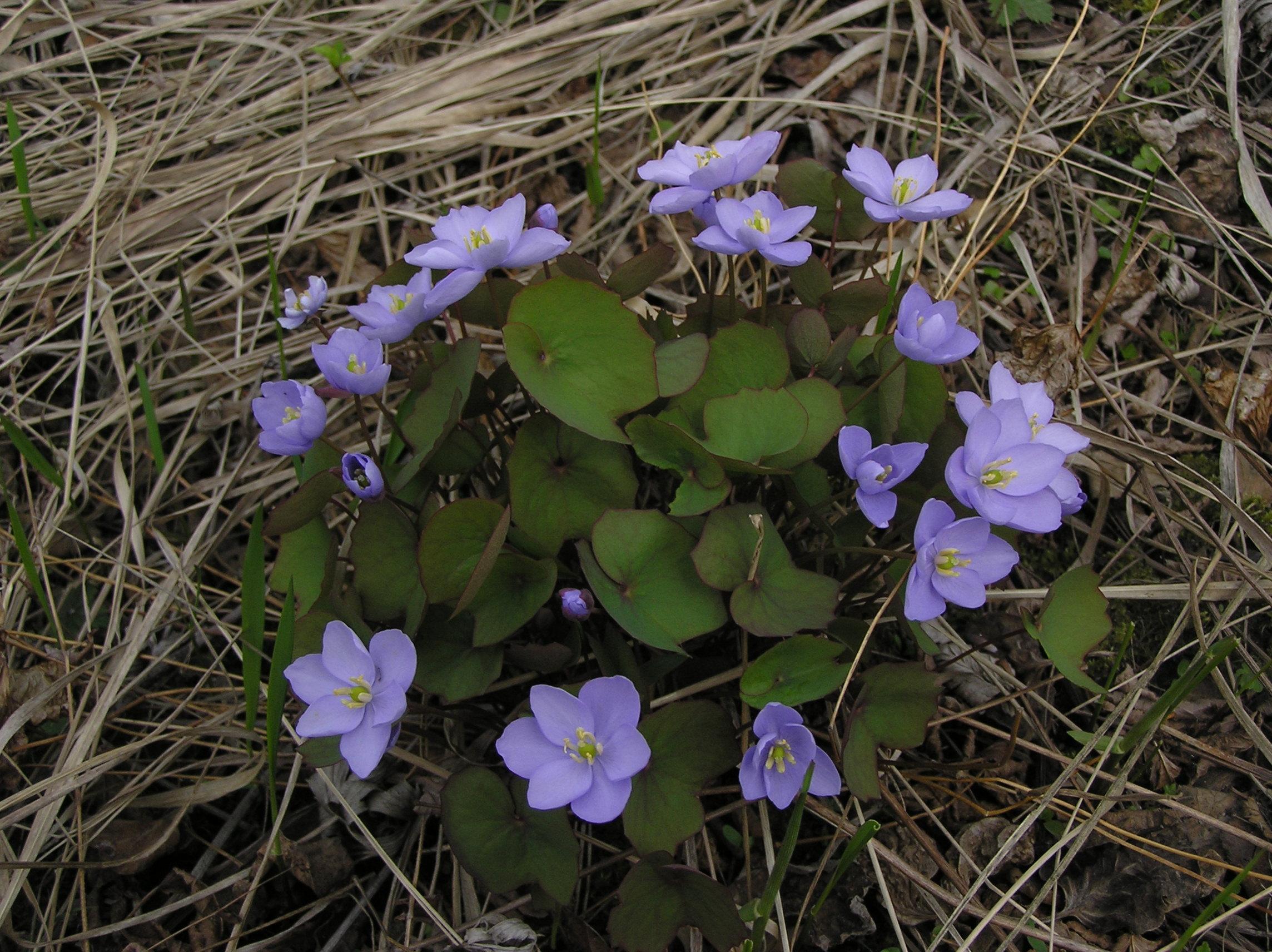 Gėlė Jeffersonia (džefersonija)