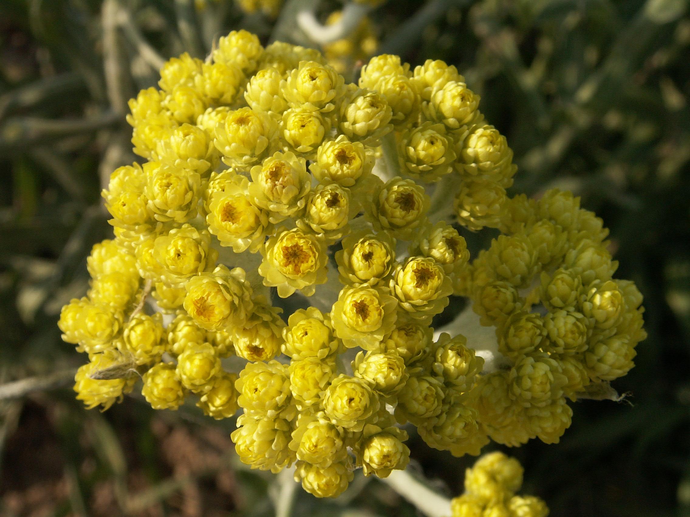 Katpėdėlė (augalas)