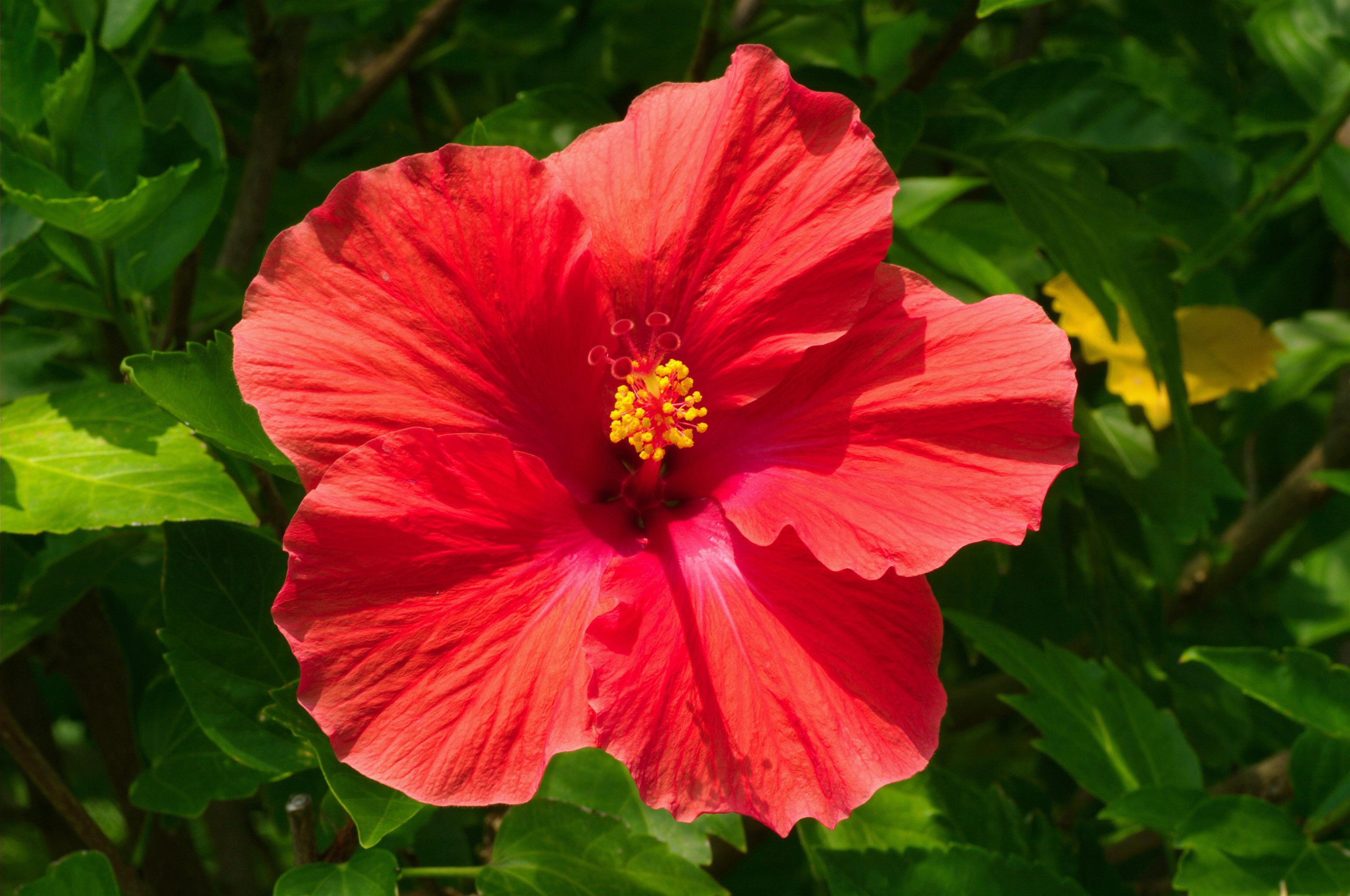Gėlė Kinrožė