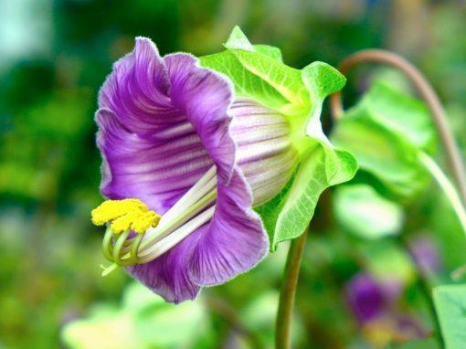 Gėlės nuotrauka. (Pavadinimas: Kobėja lipikė)