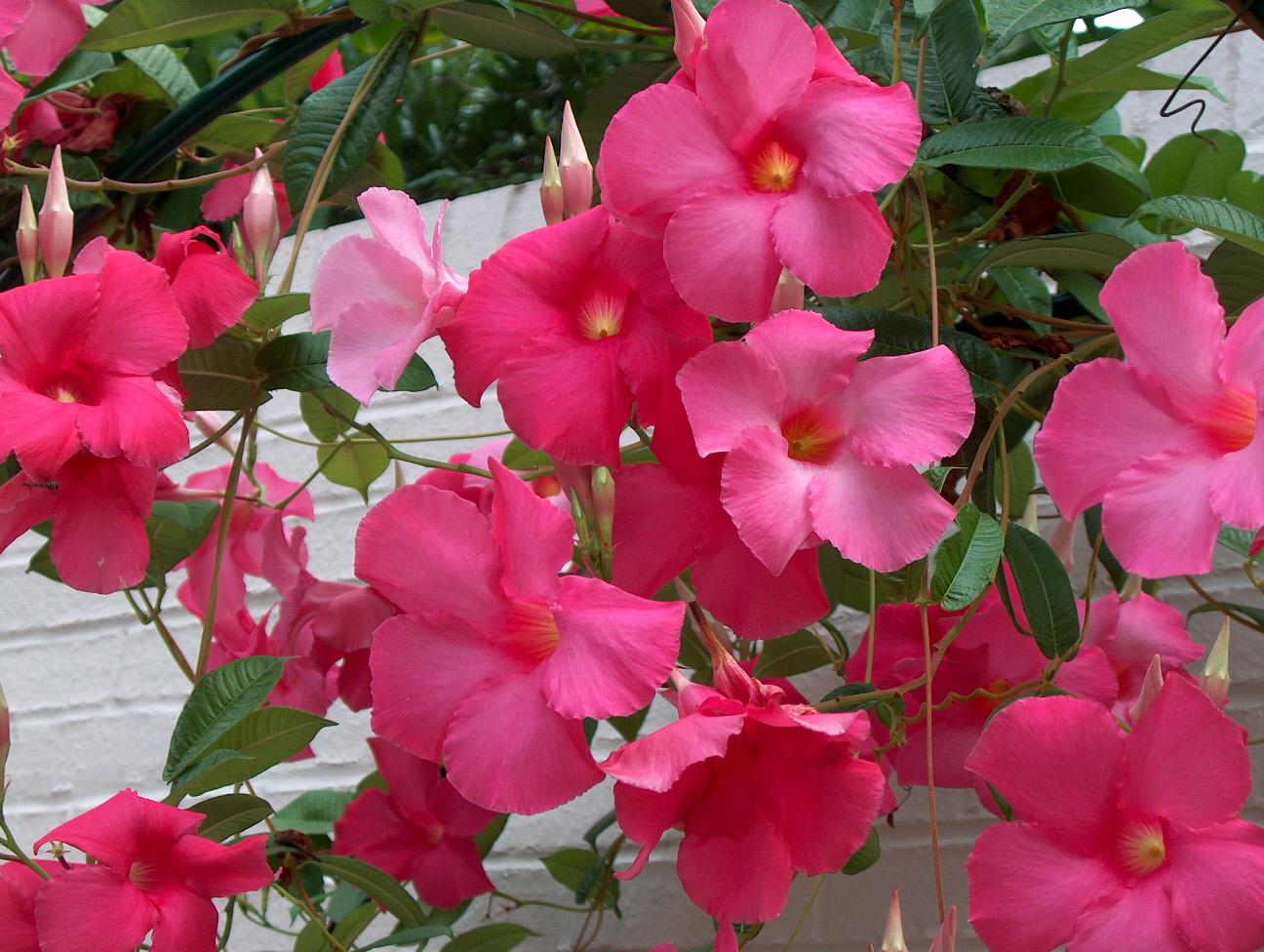Gėlė Mandevila (Mandevilla Aphrodite)