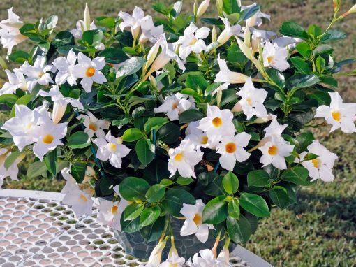 Gėlės nuotrauka. (Pavadinimas: Mandevila)