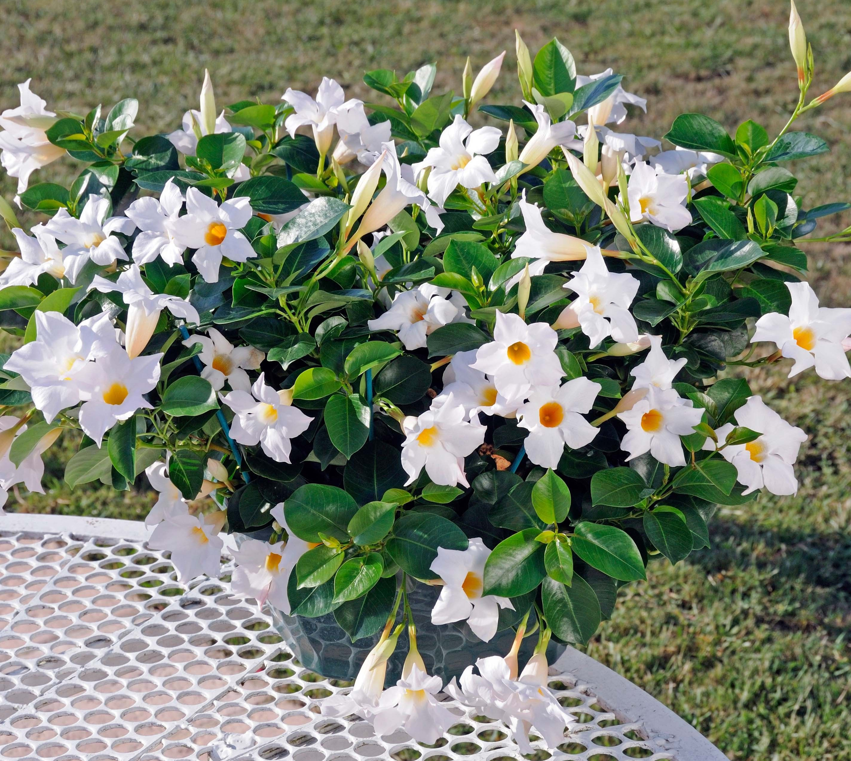 Gėlė Mandevila (Mandevilla laxa)