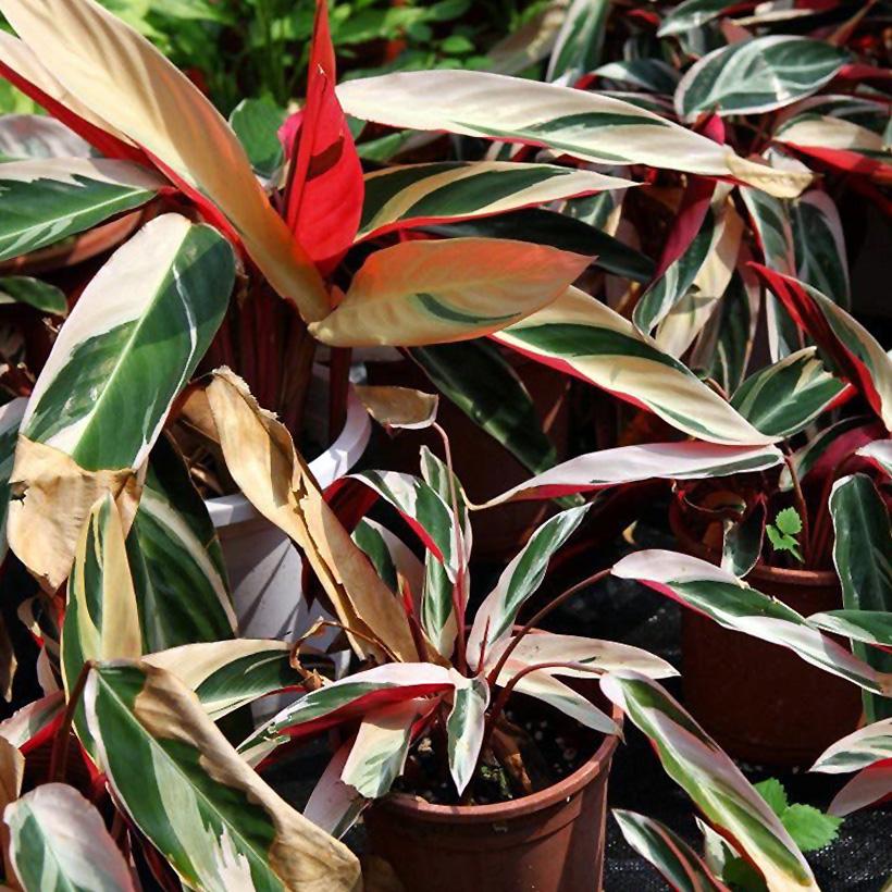 Gėlė maranta (tricolor)