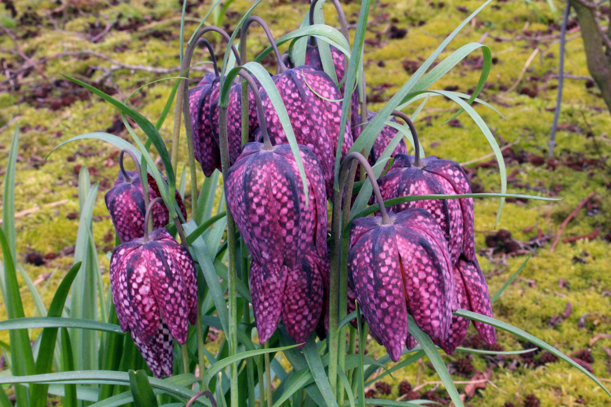 Gėlė Margutė (Fritillaria)