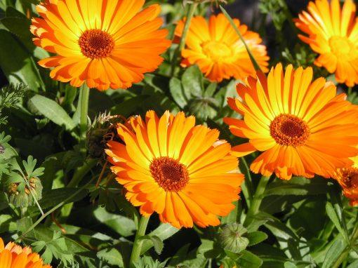 Gėlės nuotrauka. (Pavadinimas: Medetka)