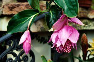Gėlė Medinilė (Gėlė Medinilla Magnifica flamenco)