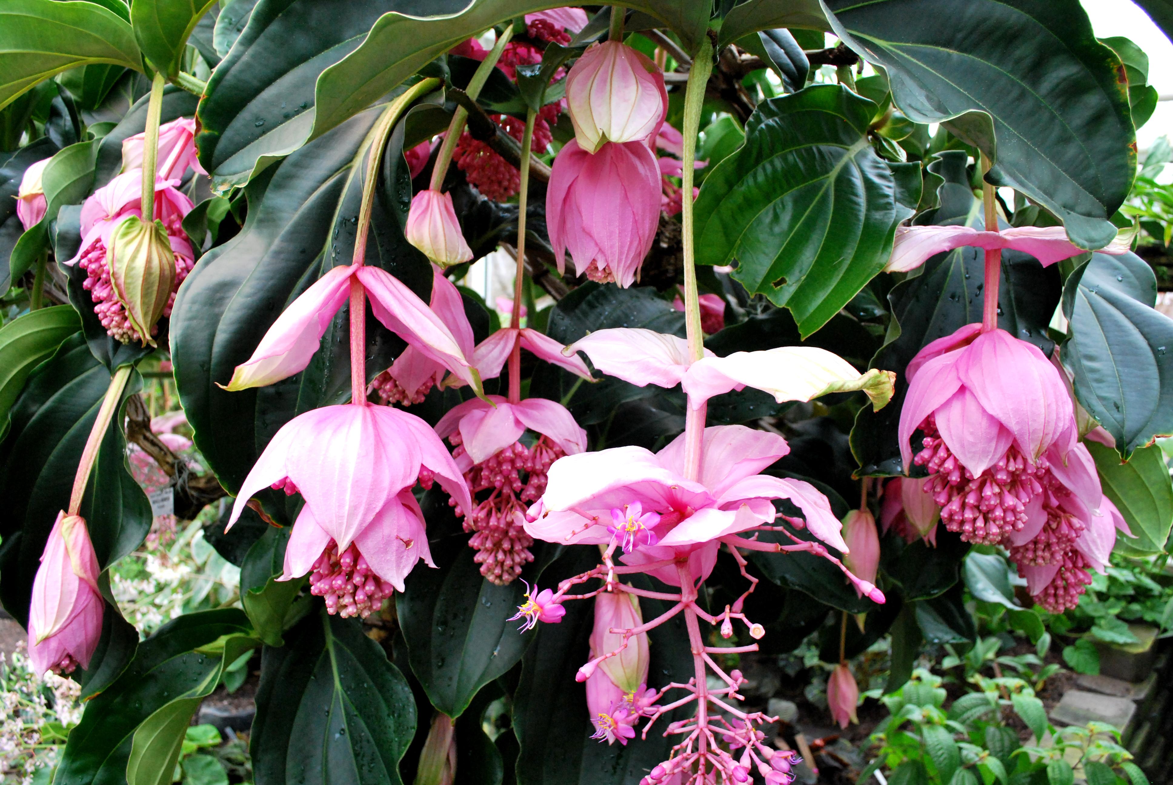 Gėlė Medinilla (Medinilė)