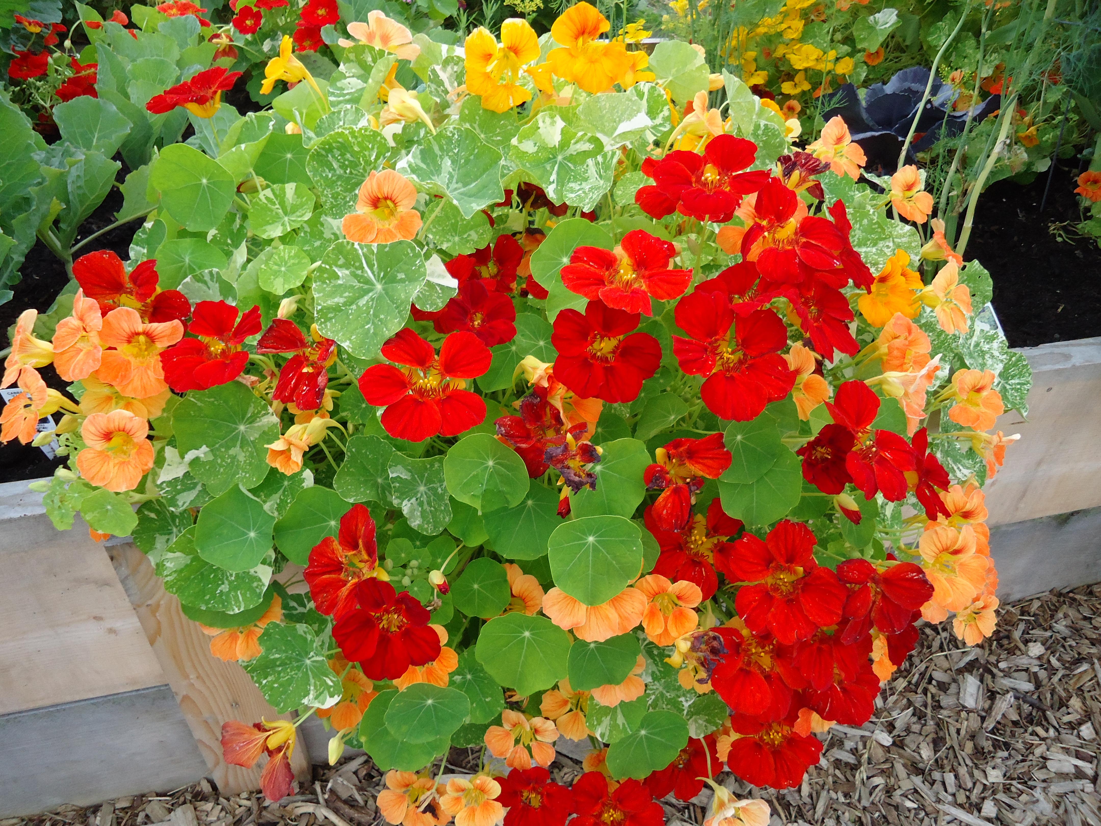 Gėlės nuotrauka. (Pavadinimas: Nasturtė)