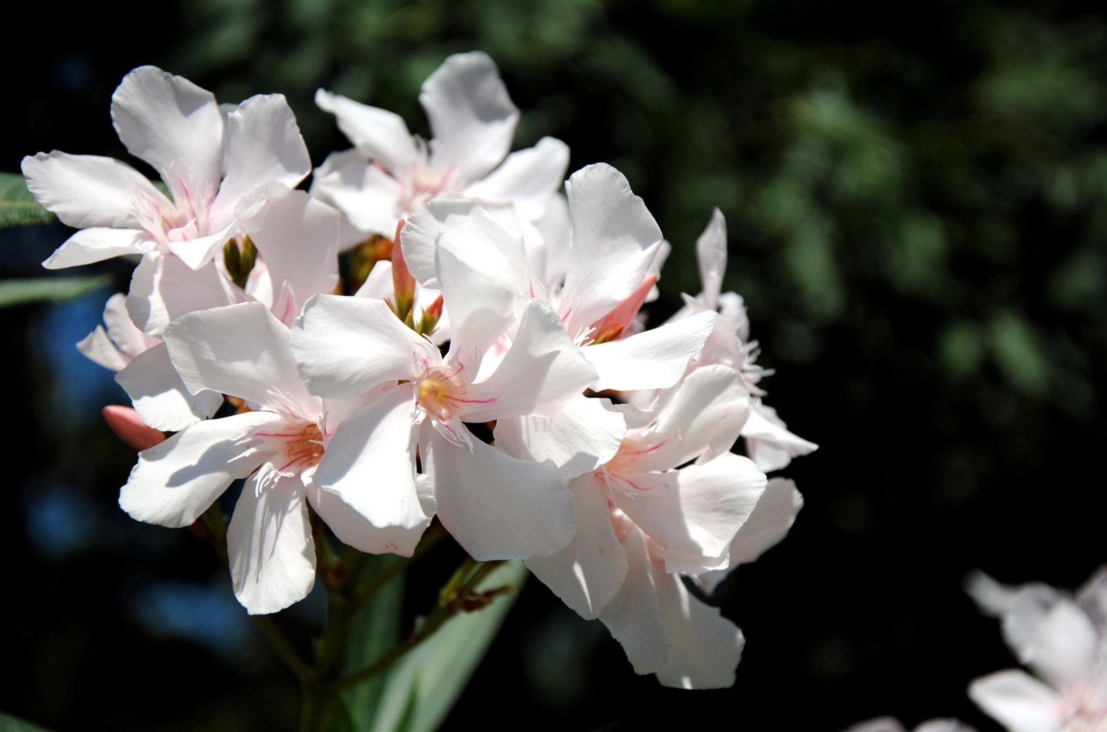 Gėlė oleandras