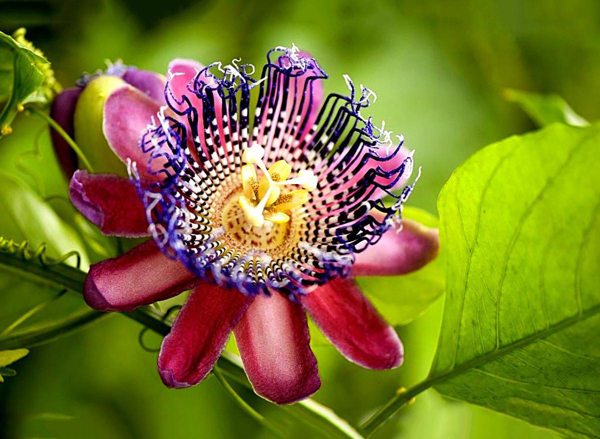 Gėlė pasiflora