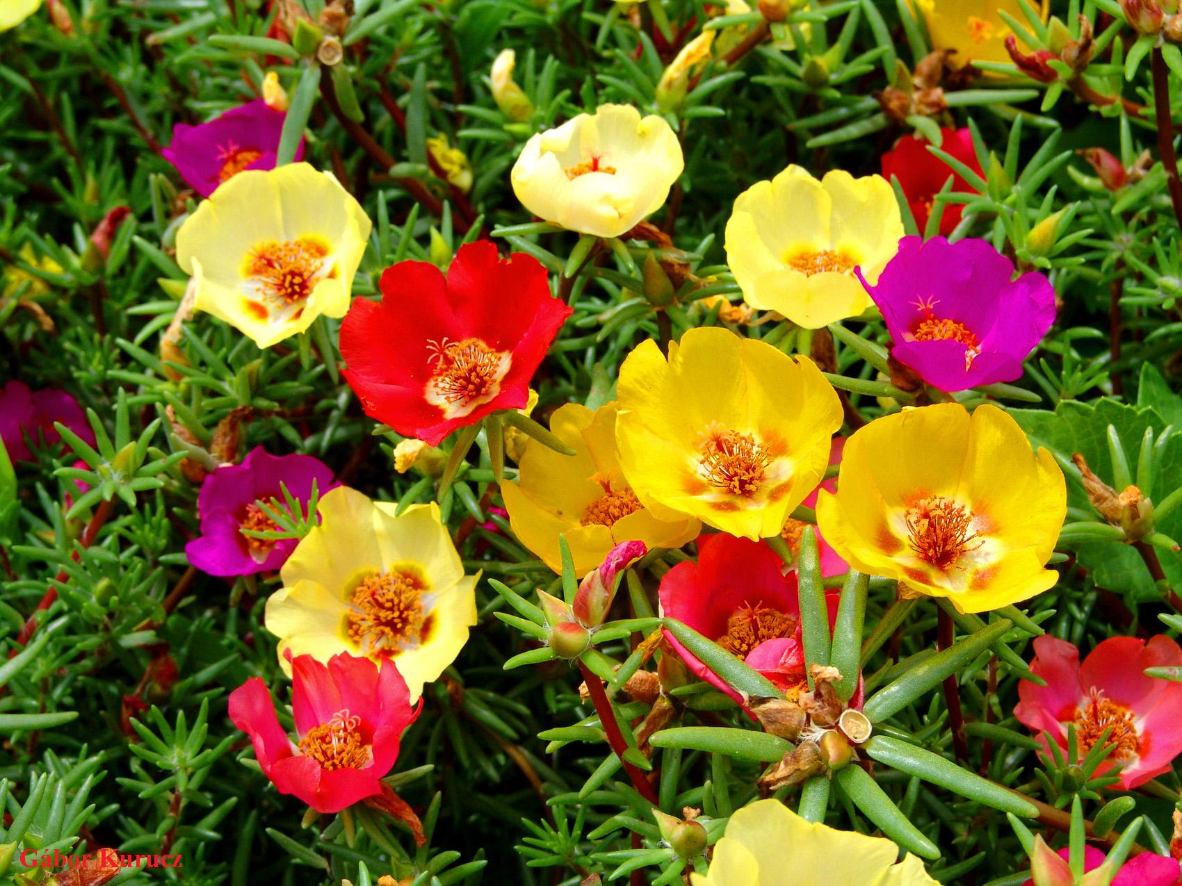 Gėlė Portulaka (Stambiažiedė portulaka)