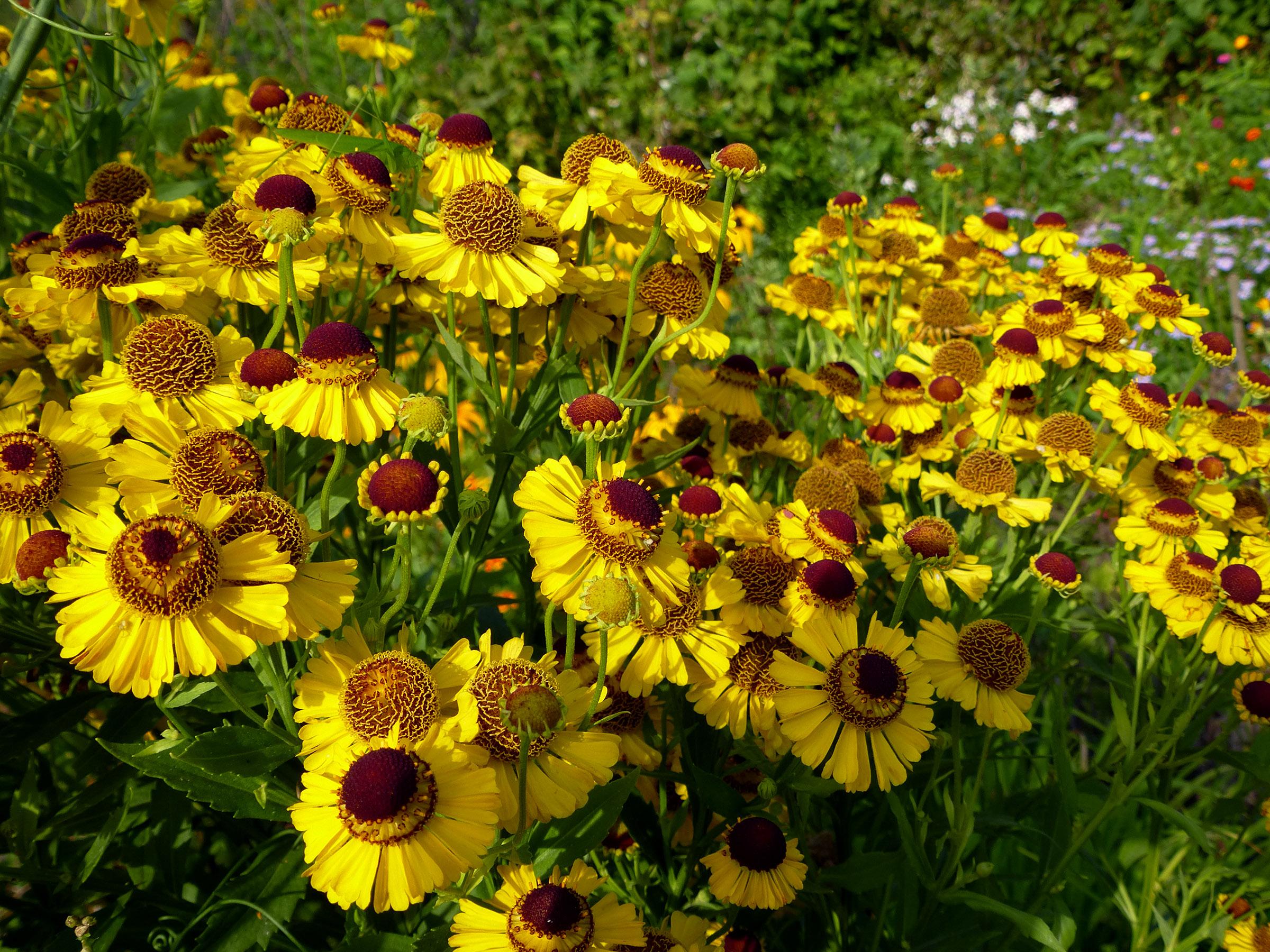 Gėlė saulainė