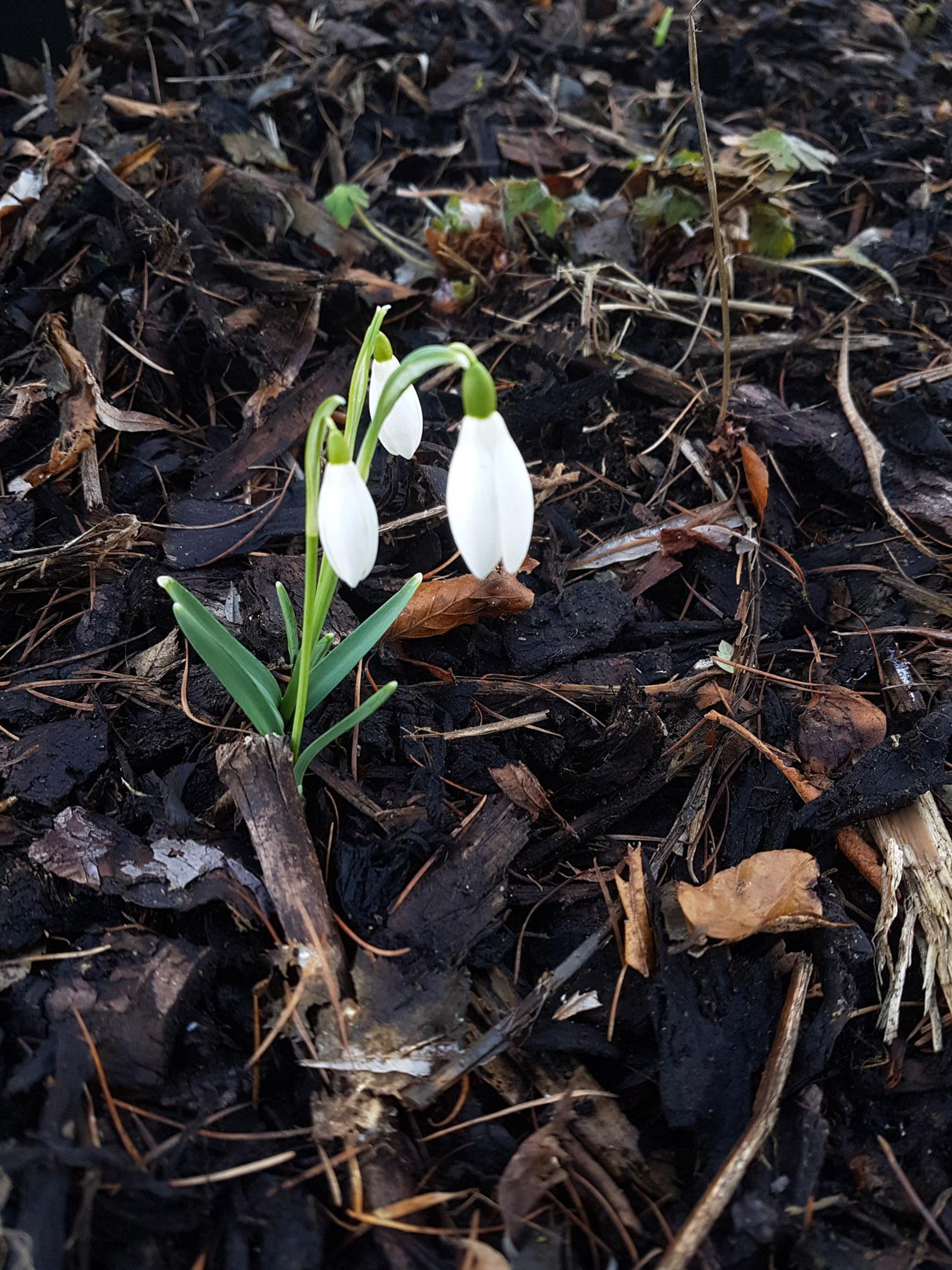 Gėlė snieguolė (balta)