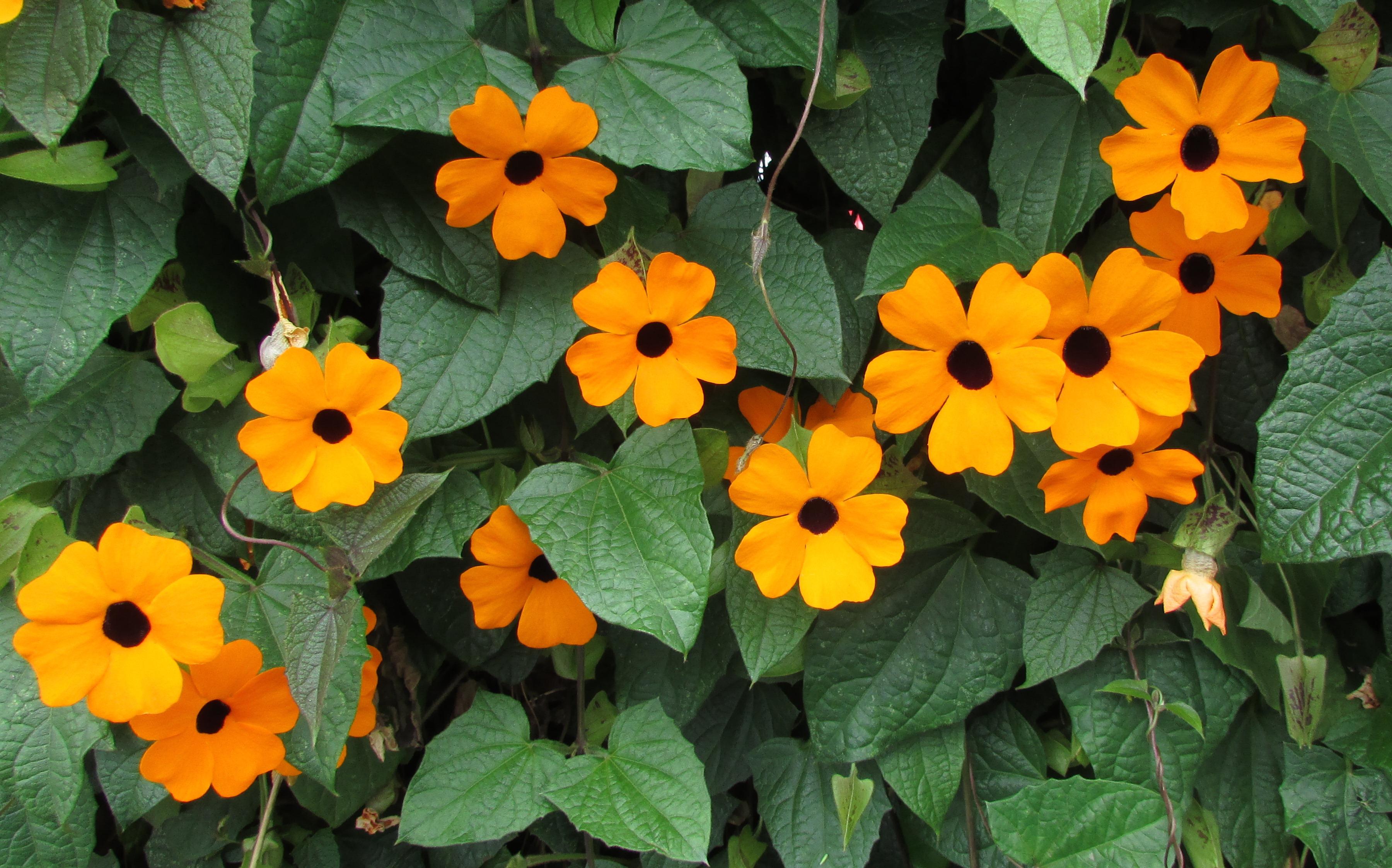 Gėlės nuotrauka. (Pavadinimas: Tunbergija)