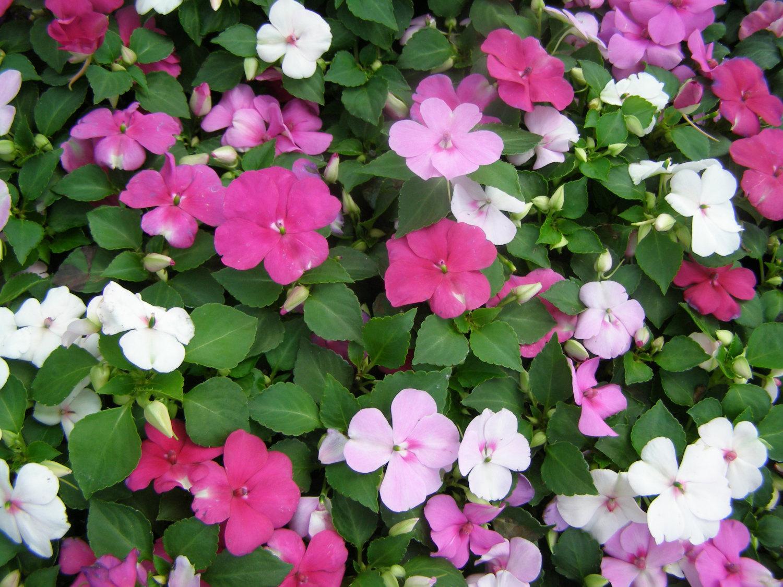 Gėlė Sprigė