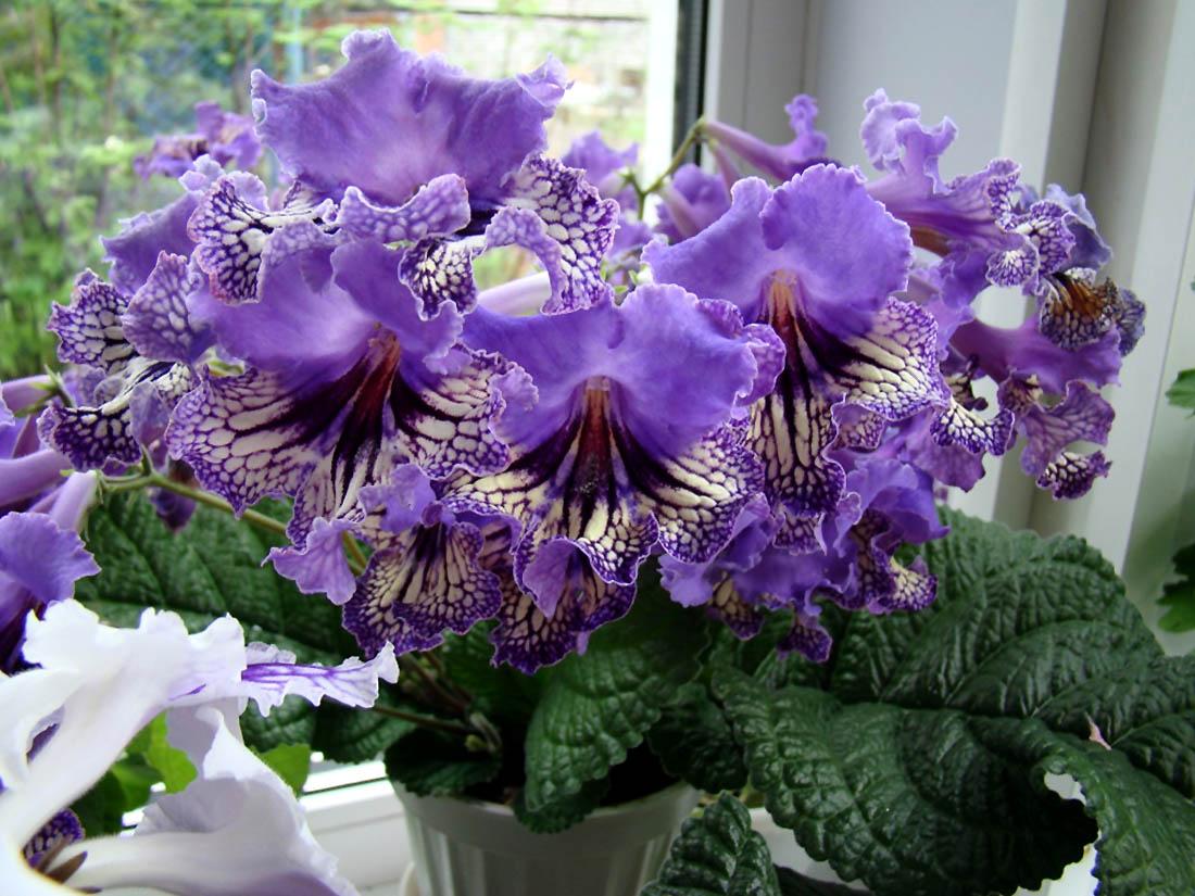 Gėlė 'Streptocarpus saxorum'