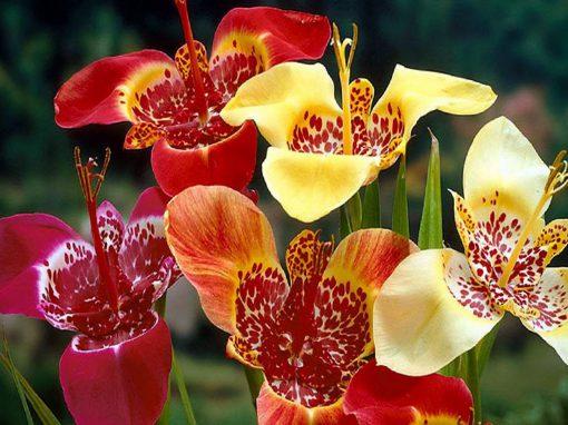 Gėlės nuotrauka. (Pavadinimas: Tigrenė)