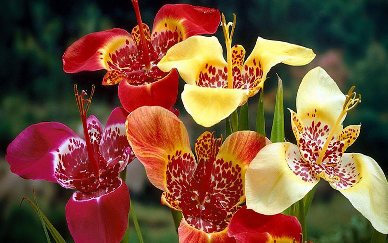 Gėlė Tigrenė