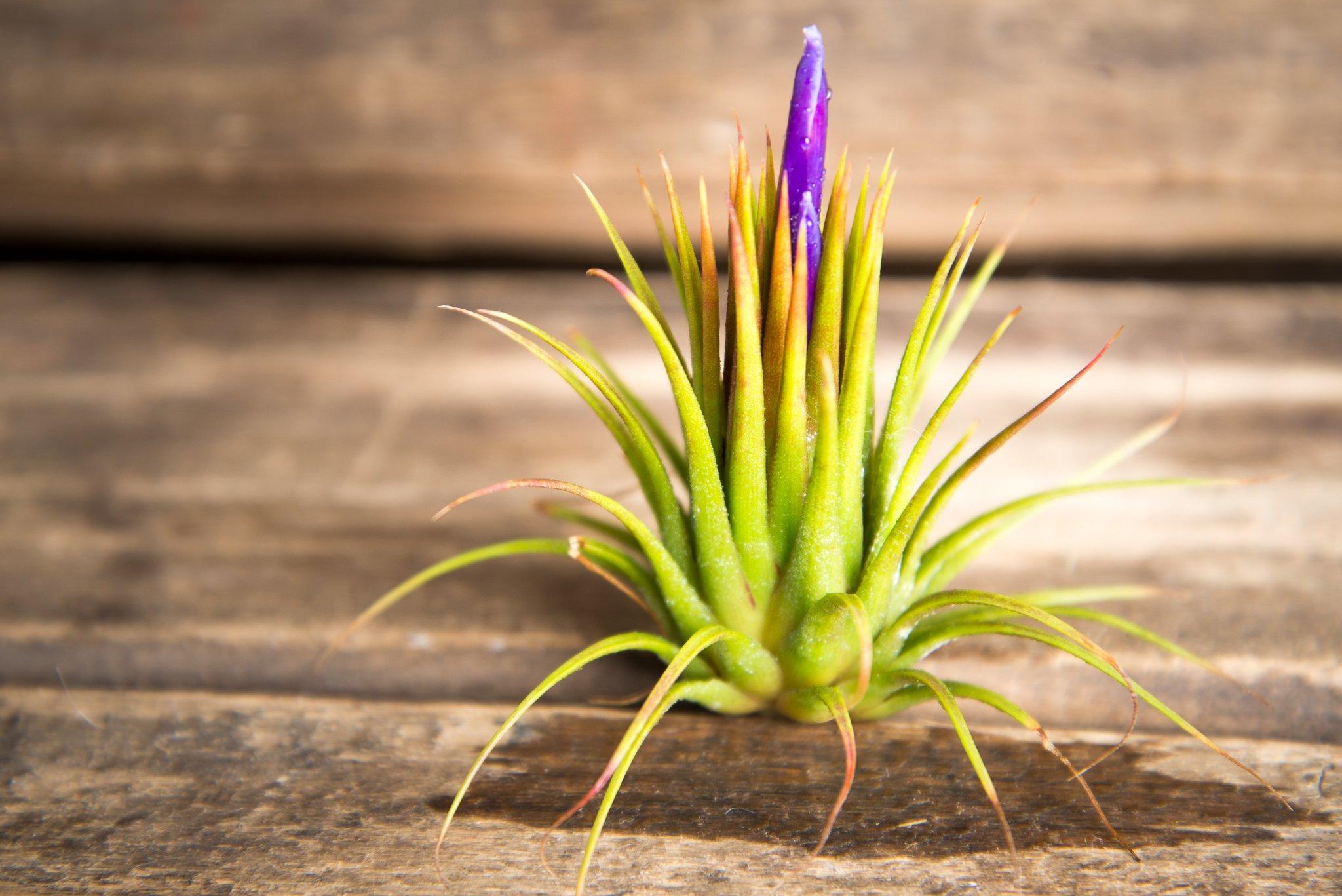 Gėlė Tilandsija (Augalas Tillandsia)
