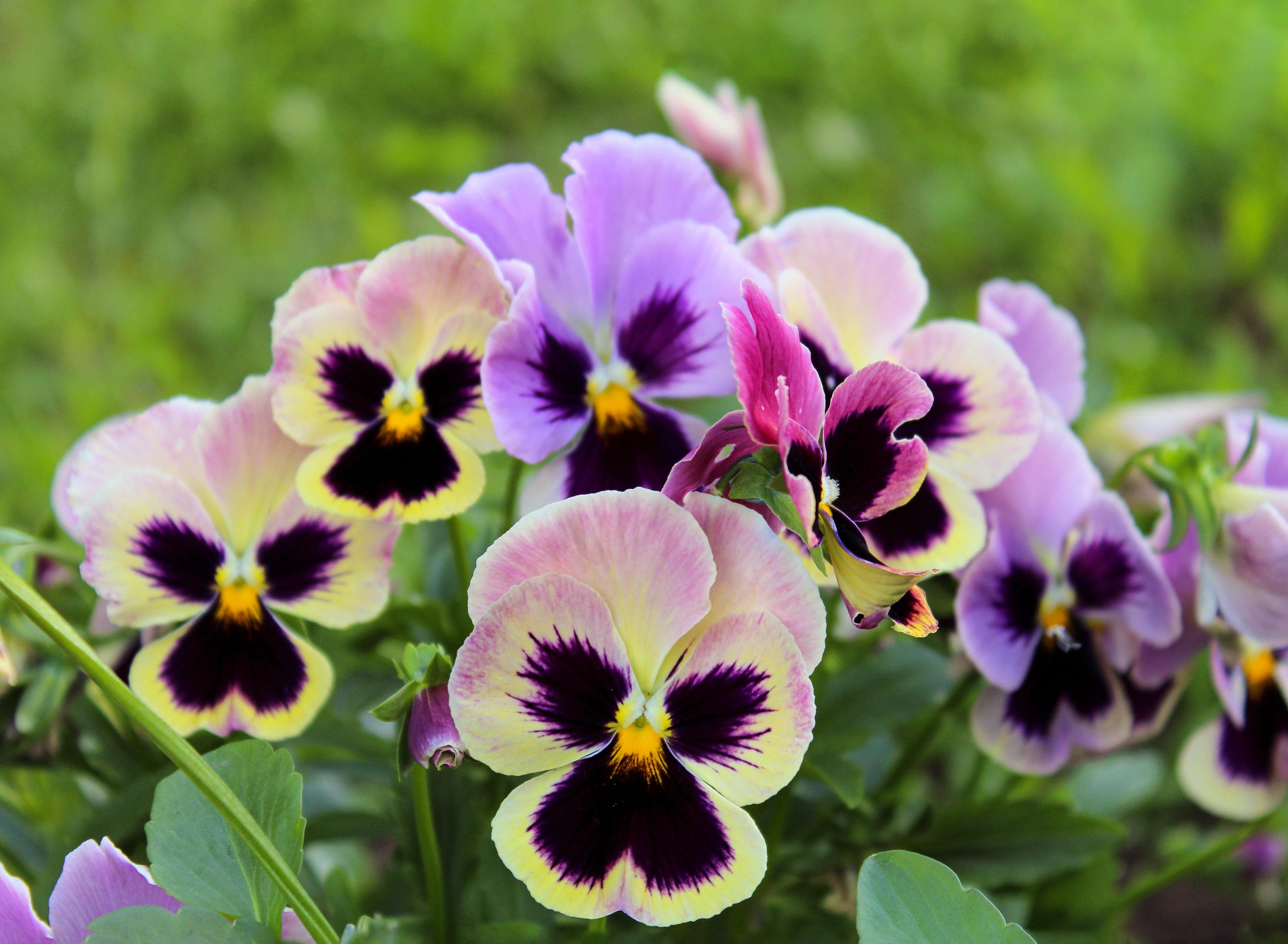 Gėlės broliukai