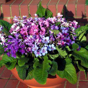 Gėlės streptokarpai