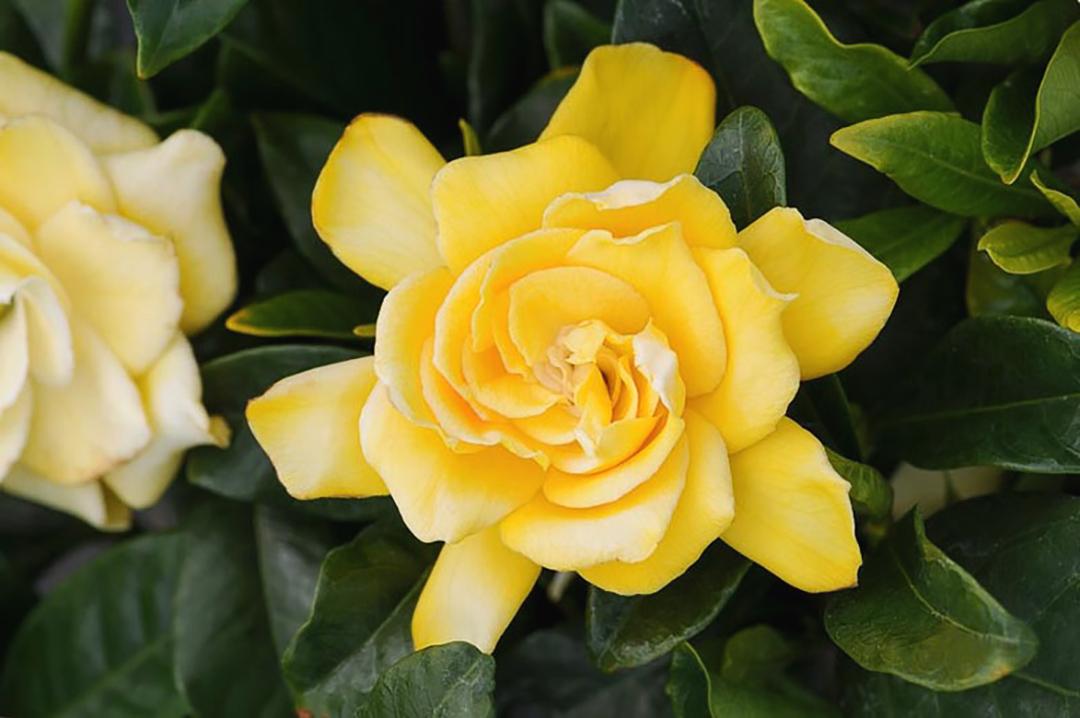 Geltonas gardenijos žiedas