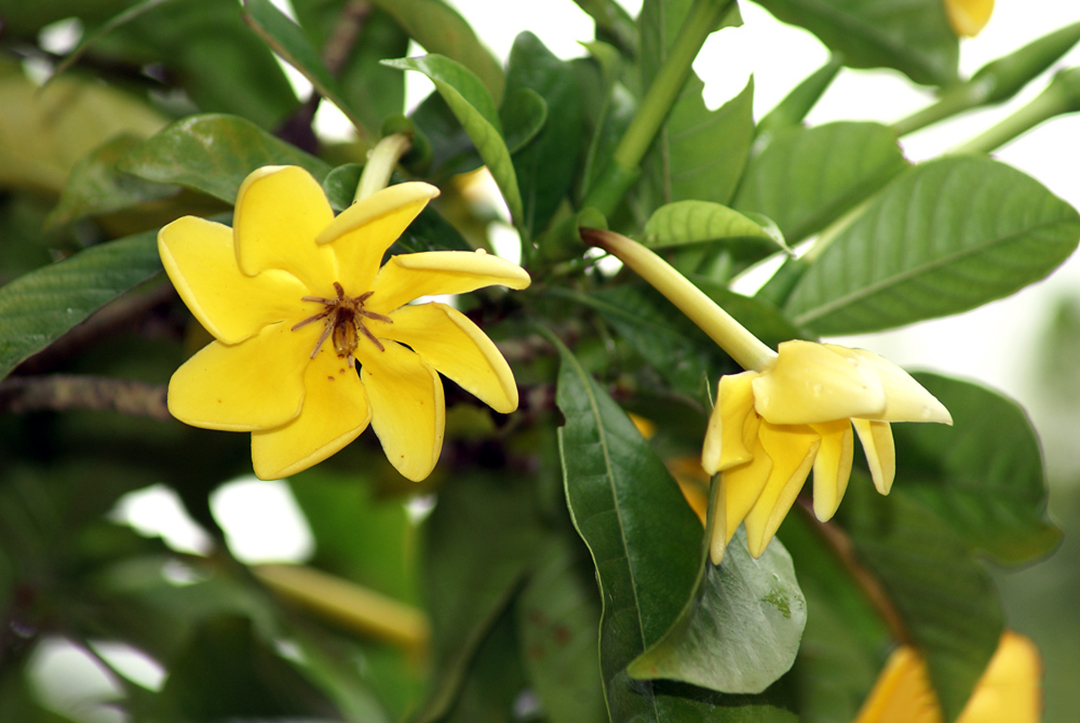 Geltonoji gardenija