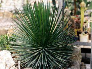 Glaustoji agava (Agave stricta)