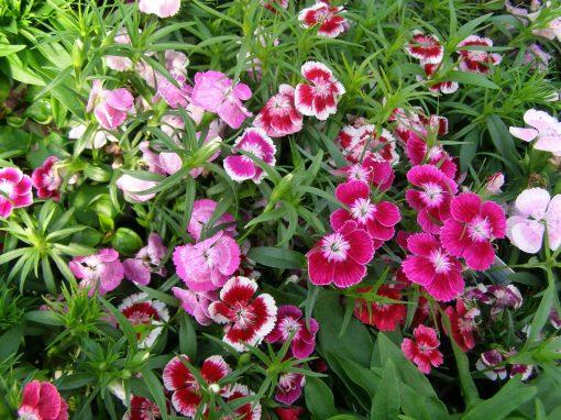 Gėlės nuotrauka. (Pavadinimas: Gvazdikas)