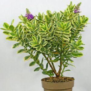Hebė Addenda (Gėlė)