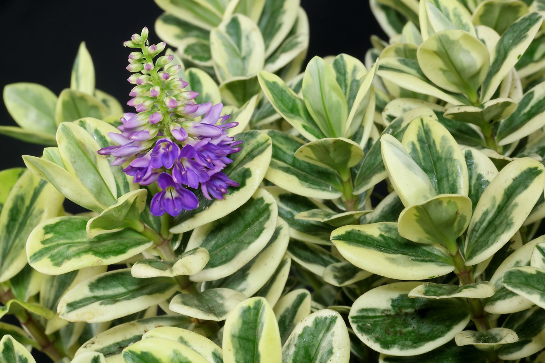 Hebė andersonii variegata