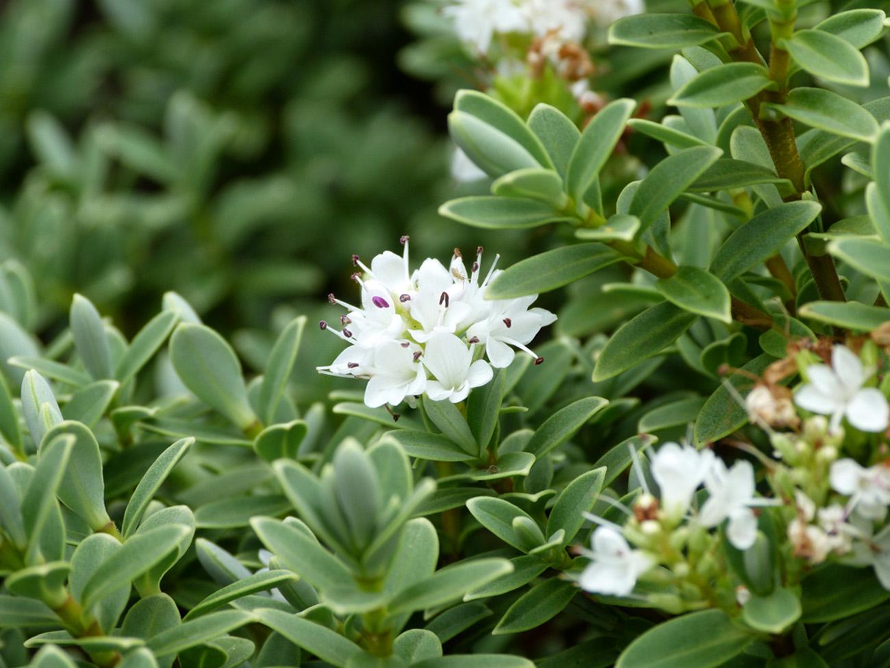 Hebė pinguifolia (Balti žiedai)