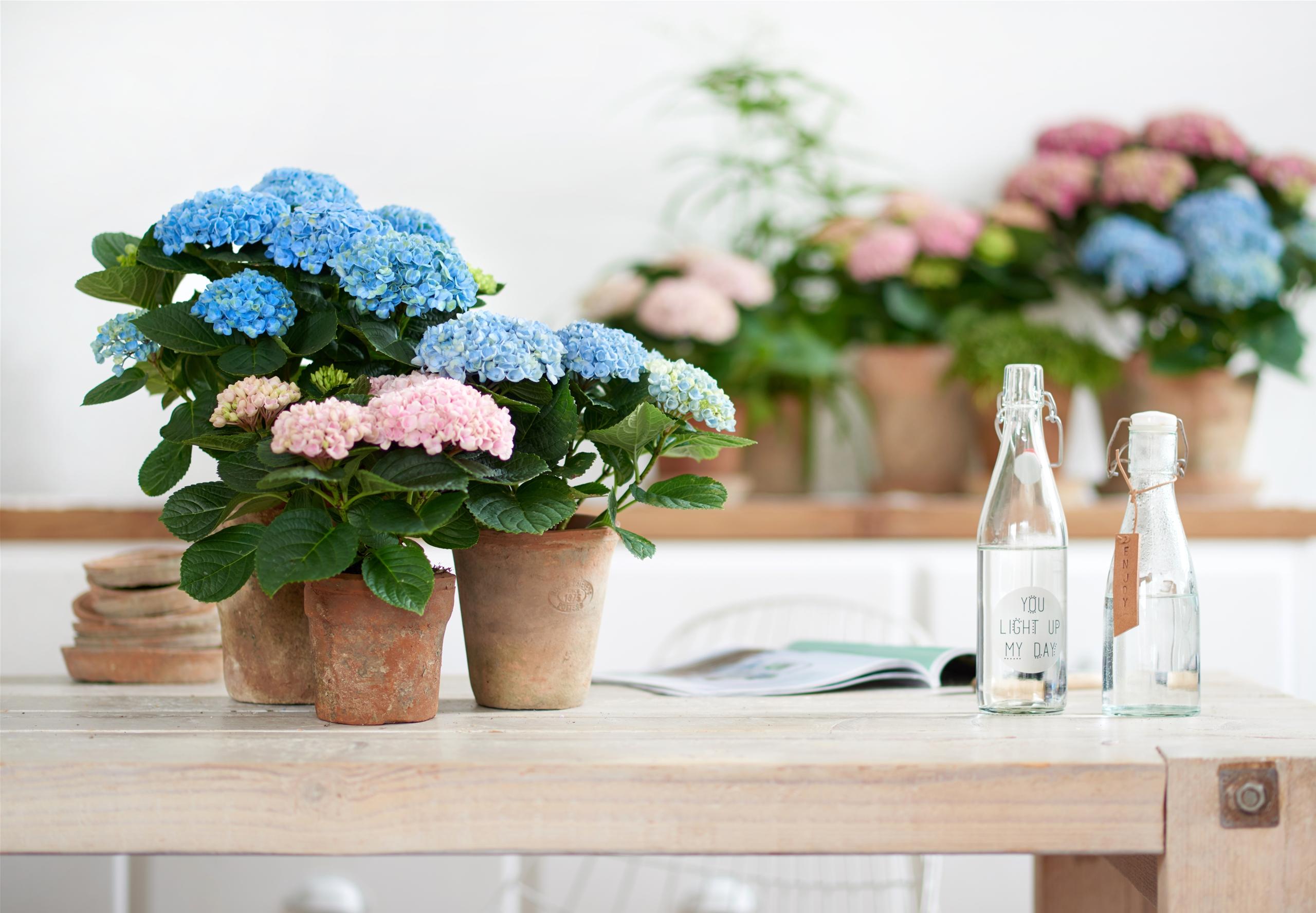 Hortenzijos vazonuose