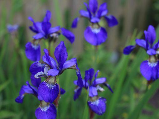 Gėlės nuotrauka. (Pavadinimas: Irisas)
