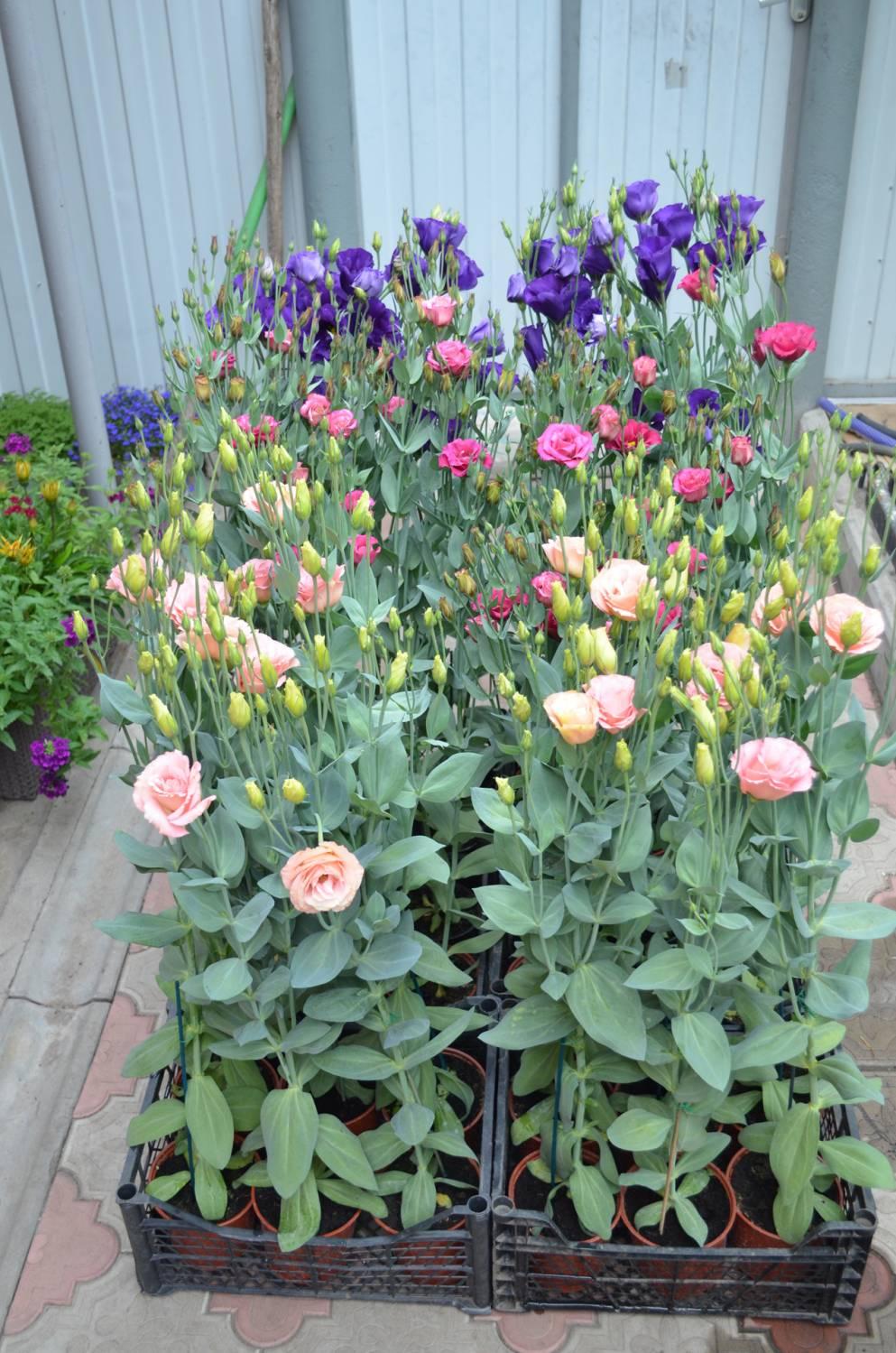Auginamos įvairiaspalvės eustomos