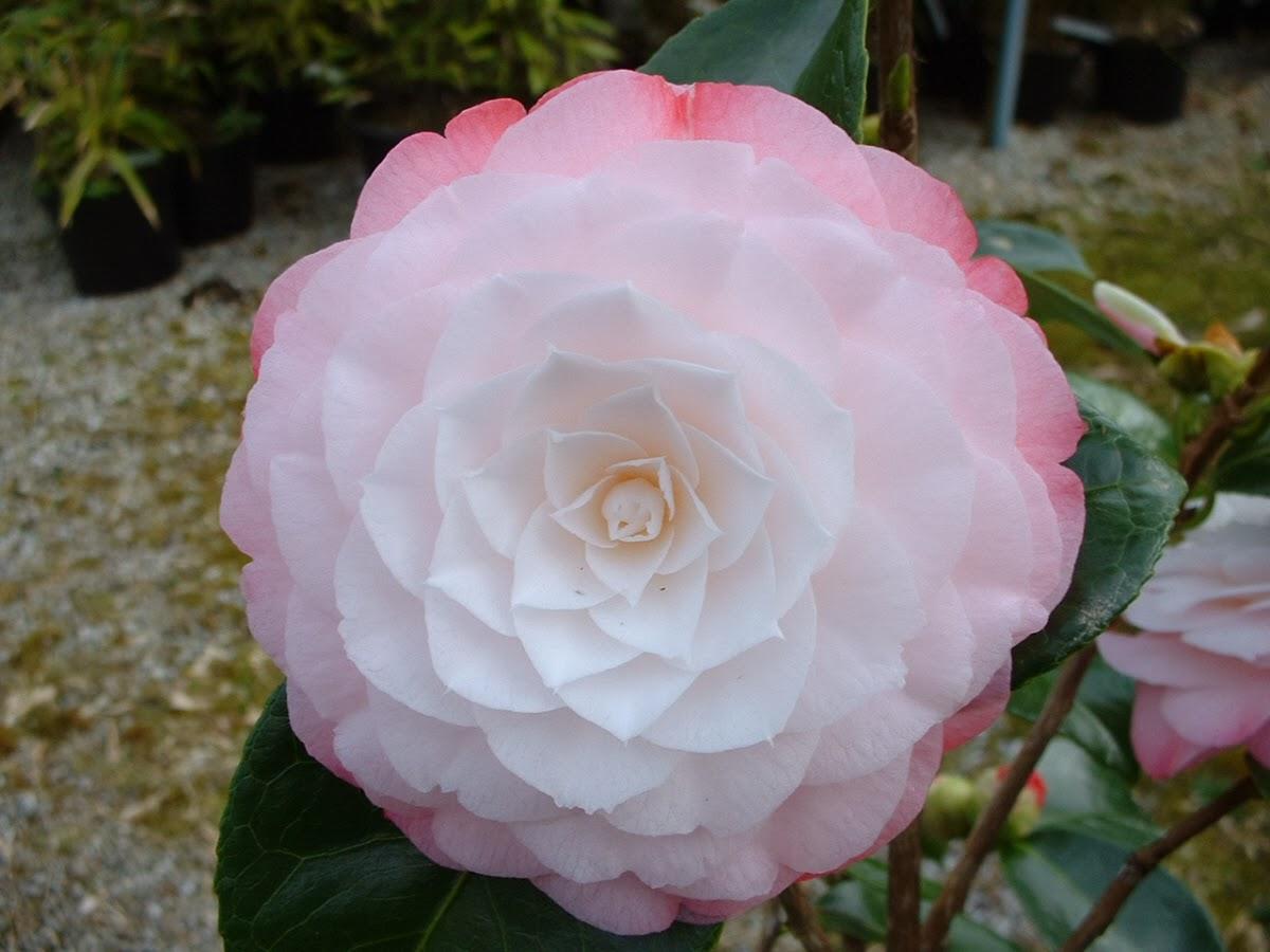 japonine-kamelija-balsvas-ziedas