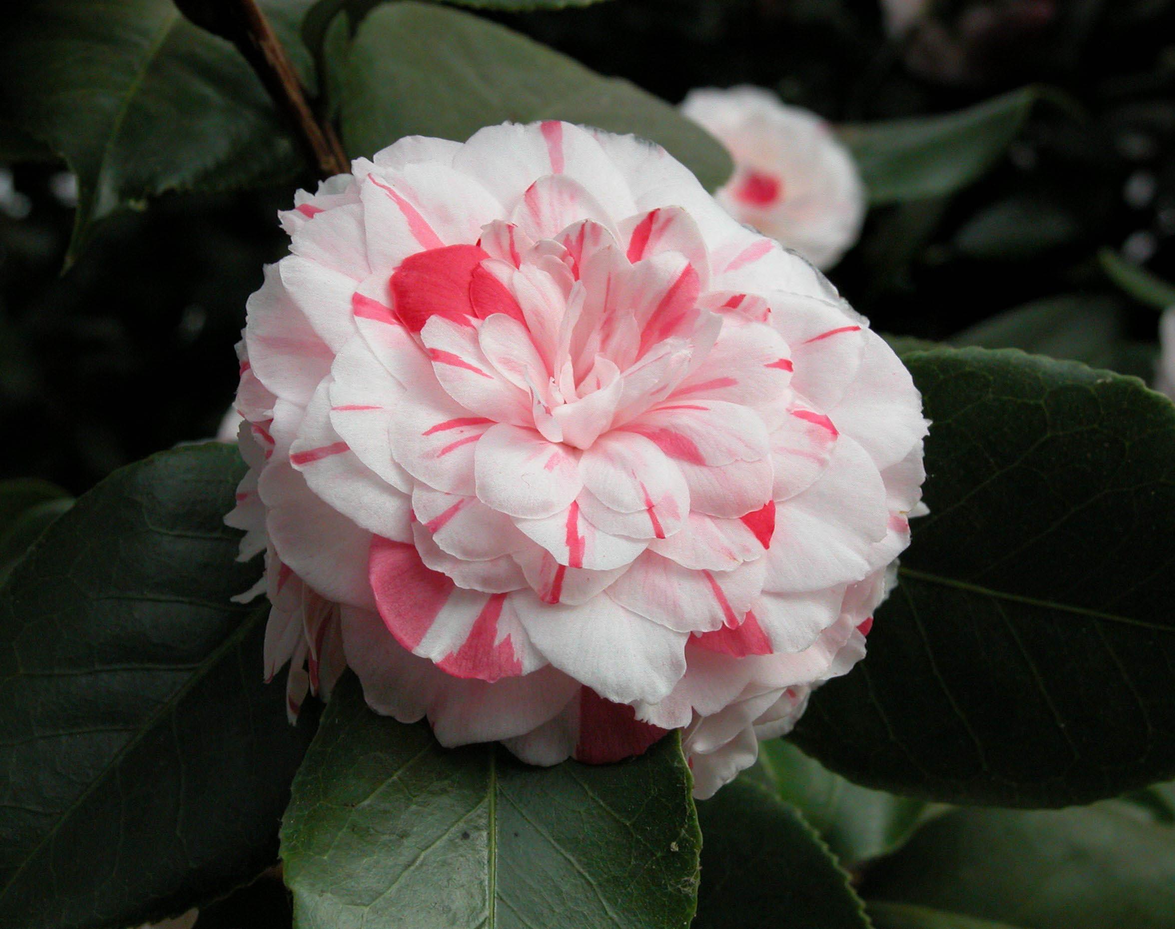 japonine-kamelija-mathotiana