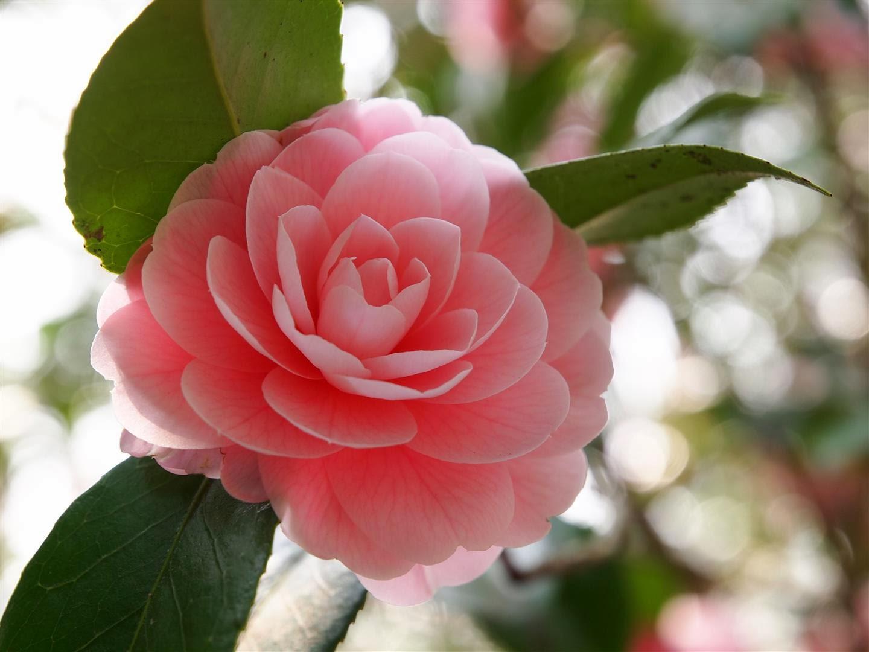 japonine-kamelija-rausvas-ziedas