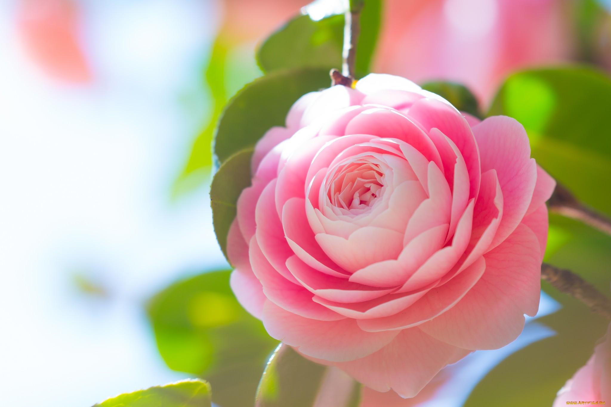 japonine-kamelija-ziedas