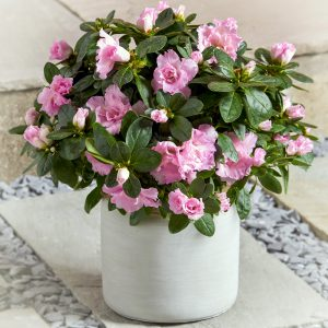 Japoninis rododendras vazone