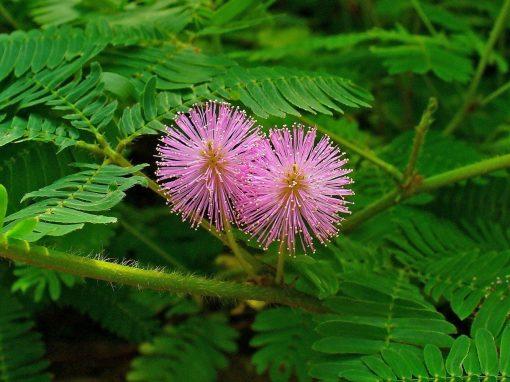 Gėlės nuotrauka. (Pavadinimas: Mimoza)