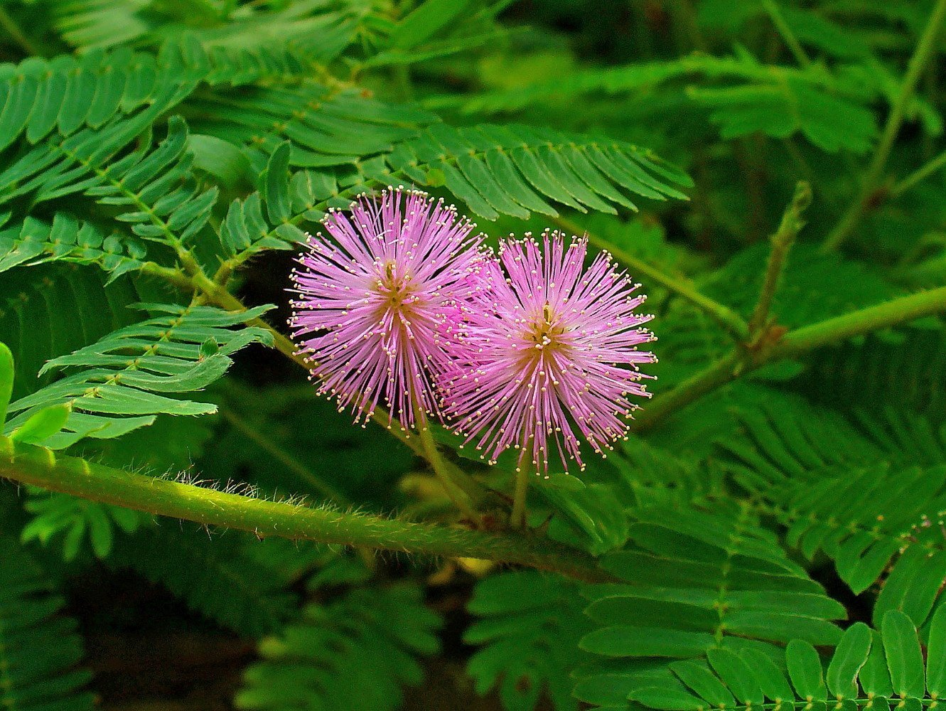 Jautrioji Mimoza (Mimosa Pudica)