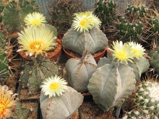 Gėlės nuotrauka. (Pavadinimas: Kaktusas Astrophytum)