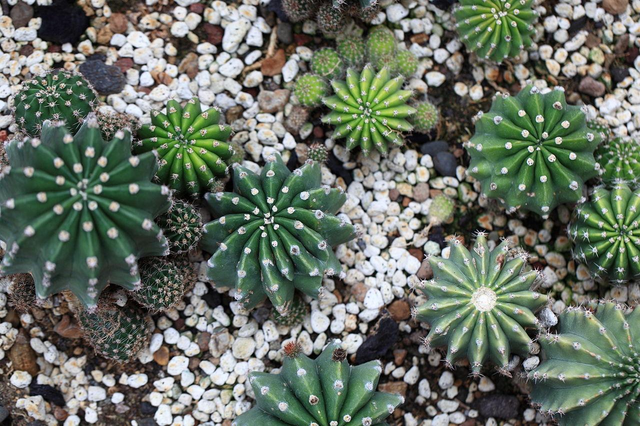 Gėlės nuotrauka. (Pavadinimas: Kaktusas Echinopsis)