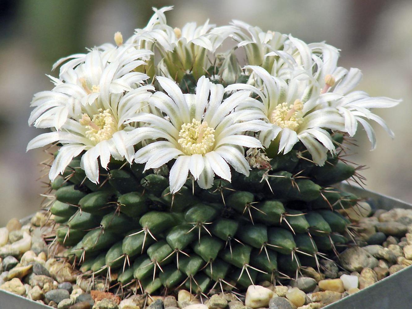 Kaktusas mamiliarija (baltas)